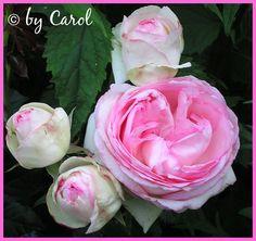 Eden rose ~ Pierre de Ronsard