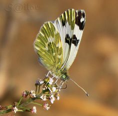 "Butterfly   ""Pontia daplidice"" Mariposa ""Bath White"" by S@ilor, via Flickr"