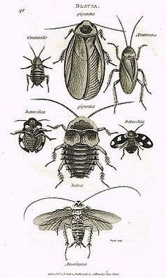 """Shaw's (Insects) - """"COCKROACH - BLATTA""""- Copper Engraving - 1805"""