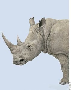 "Rhino.     (""Toni Llobet 