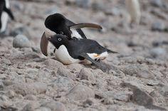 Penguin massage