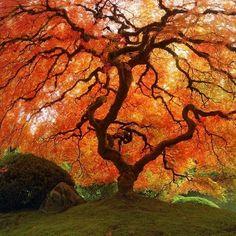 Fall Japanese Maple