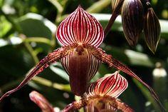 Orquídea oro de Kinabulu   Las orquídeas son flores hermosas y delicadas que pueden cultivarse casi en cualquier clima. Una de las especias más costosas es la orquídea oro de Kinabulu, una flor que solo se encuentra en el Parque Nacional Kinabulu, en Malasia, Y cuyo precio ronda los 6.000 dólares por pieza. Cultivar esta orquídea requiere de mucho esfuerzo y paciencia ya que el período de floración puede llevar hasta 15 años.