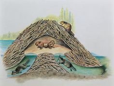 Cross-section of a Beaver Lodge (DEA Picture Library/De Agostini Picture Library) Such lodges can only be entered through hidden underwater entrances. Crafted in sprawling mounds from logs, branches, and mud, the structures contain rooms for dying off and rooms for habitation. Before winter the beavers coat their lodges with mud which freezes into a hard coat which makes the structures impervious to bears and wolverines. Beavers harvest tender shoots from their favorite softwoods and embed…