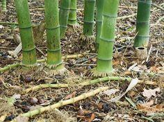 Bambous - F. Marre - Parc floral de la source