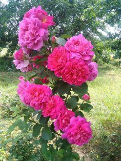 English rose Princesse Ann