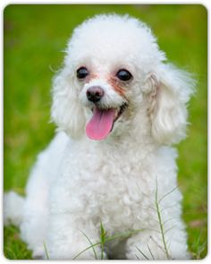 Dog with Tear Stains ~ The following products are ranked according to the following criteria: strength and safety of ingredients, cost effectiveness, and overall customer feedback.    The Top Tear Stain Products:  Click Below to see the best pet products