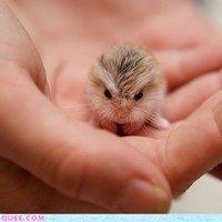 Teeny Tiny Gerbil - Cheezburger