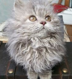 These Poodle Cats Are So Fluffy You'll Squeal With Delight When You See Them