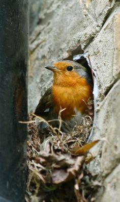 A Robin nesting.