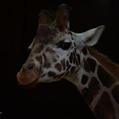 Żyrafa w Gdańskim zoo