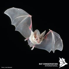 bats are mammals that belong to the order of Chiroptera. The forelimbs of bats form webbed wings, making them the only mammals naturally capable of true and sustained flight. The Occasional Bat ( Nocturnal Animals, Animals And Pets, Baby Animals, Cute Animals, Strange Animals, Small Animals, Mammals, Bat Species, Monsters