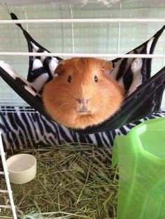 """George hanging out in his hammock!"" - Aw, I need to get one of these for my guinea pig :)"