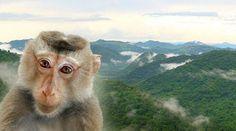 Un Singe nous regarde l'air inquiet avec en arrière plan les forêts du Complexe forestier de Dong Phayayen-Khao Yai en Thaïlande