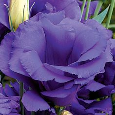Lisianthus Cinderella Blue Simply the best Lisianthus for big, long-lasting, exquisitely-colored double-flowered blooms, Cinderella will live happily ever after in your sunny beds, borders, and cutting gardens! These blooms are beautiful, easy to grow, and very long-lived before or after cutting. If you like big, showy bouquets that won't curl up or droop even after a week, grow plenty of Cinderella this season! A vivid, rich blue, these 3-inch blooms have twice the petal count of…