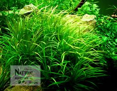 Blyxa Japonica Aquarium Live Aquatic Plant Aquascape - Set of 3 Full Plants