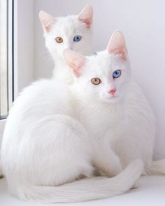 Normal-Looking Twin Cats Have The Most Stunningly Colorful Eyes