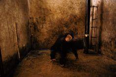 Whiskey, A Pet Chimpanzee, Bujumbura, Burundi, 1989. Michael Nichols, American, born 1952. Inkjet print mounted on Dibond © Michael Nichols/National Geographic.