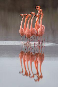Greater Flamingos at Punta Cormorant, Floreana Island, Galapagos, Ecuador. By Richard Bernabe Photography Pretty Birds, Beautiful Birds, Animals Beautiful, Beautiful Pictures, Flamingo Art, Pink Flamingos, Flamingo Photo, Flamingo Wallpaper, Wildlife Photography