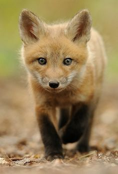 ~~Who are you? |  Fox Cub by Lise De Serres~~