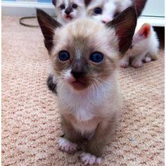 Snowshoe Siamese kitten 4 weeks old:)