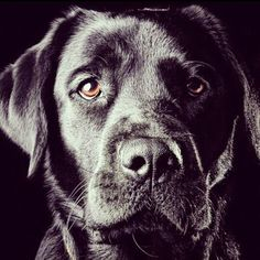 Black Labs are the shizzz