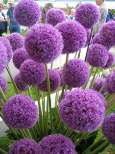 Alliums - Autumn Planting - Bulbs, plants and more - Large purple ball shaped flowers. Allium Giganteum has densely packed star shaped flowers, very tal - Allium Flowers, Bulb Flowers, Tall Purple Flowers, Plants With Purple Flowers, Tall Perennial Flowers, Purple Flowering Plants, Perennial Grasses, Top Flowers, Perennial Flowering Plants