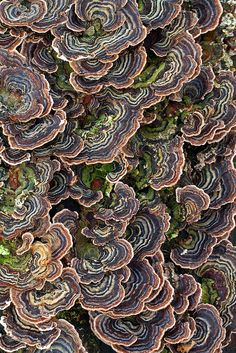 Turkey Tail Trametes Versicolor Taken By Dr. Steven Murray Old Fallen Ash Tree Covered In This Delightful Bracket Fungi. Extremely Common And Highly Variable. The Bands Can Vary From White To Black And Everything In Between. Blue Versions Are Rather Funky Natural Forms, Natural Texture, Wild Mushrooms, Stuffed Mushrooms, Plant Fungus, Mushroom Fungi, Turkey Tail Mushroom, Patterns In Nature, Belleza Natural
