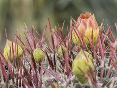 Red Barrel Cactus, Ferocactus cylindraceus, Boyce Thompson Arboretum, Superior, AZ. Arizona Wildflowers, Karen Martin Photography, http://www.facebook.com/karenmartinphoto, http://karenmartin.smugmug.com