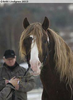 Coldblood Trotter stallion Slåttodin