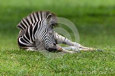 Photo about Zebra young colt calf laying down resting on summer grass in a wetland park reserve. Image of photo, laying, summer - 28614220 Wetland Park, Calves, Grass, Places To Visit, Horses, Stock Photos, Summer, Animals, Image