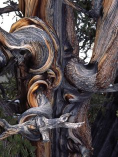 "Bristlecone pine in the ""Great Basin National Park"" (Nevada)"