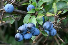 Blackthorn - Wild Flower Finder Sloe Berries, Superfood, Wild Flowers, Natural Remedies, Blueberry, Flora, Fruit, Nature, Plants