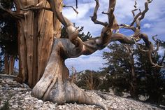 Pinos de Bristlecone, los árboles más antiguos en el planeta.