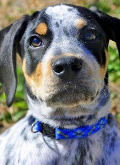 the Beagle Mix Hi! My name is Titan. I am a Blue Heeler / Beagle mix ...