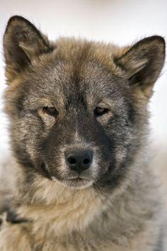 Photo of a unique breed of Arctic puppy, the Canadian Eskimo Dog in Churchill, Manitoba.