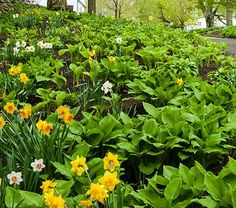 Daffodils & Hosta Collaboration for the North - White Flower Farm (For the stone path to the patio/deck)