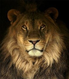 A lion portrait - Luigi Piccirillo The Ocean, Lion Cat, Leo Lion, Beautiful Creatures, Animals Beautiful, Cute Animals, Beautiful Lion, Wild Animals, Mundo Animal