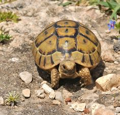 greek tortoise care sheet - I always wanted a pet tortoise, maybe someday if it became legal and I had the extra space.