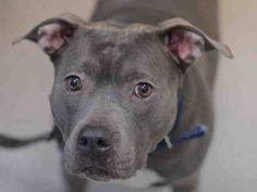 SUPER URGENT 03/03/15 Manhattan Center  STORM - A1029332   FEMALE, BLUE, AM PIT BULL TER / AMERICAN STAFF, 8 yrs OWNER SUR - EVALUATE, NO HOLD Reason CHILDCONFL  Intake condition EXAM REQ Intake Date 03/03/2015 https://www.facebook.com/Urgentdeathrowdogs/photos/pb.152876678058553.-2207520000.1425514515./971203332892546/?type=3&theater
