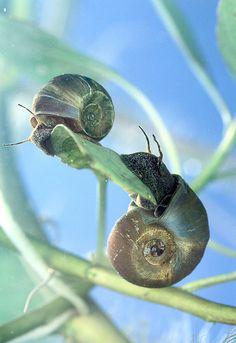 Ram's Horn Snails  Two ram's horn snails, Planorbella trivolvis, hang out on underwater vegetation. The snails carry parasitic nematodes that infect catfish