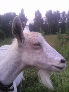 коза Мила