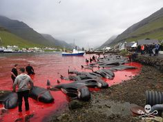 FOX NEWS: Exclusive: Grisly pics show mass whale slaughter in remote Faroe Islands hunts