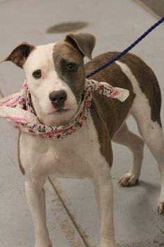 ADOPTED> NAME: IDA  ANIMAL ID: 33422770  BREED: Pit  SEX: Female  EST. AGE: 2 yr  Est Weight: 38 lbs  Health: Heartworm neg  Temperament: dog friendly, people friendly  ADDITIONAL INFO: RESCUE PULL FEE: $35  Intake date: 9/8  Available: Now