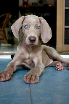 Weimerimer: Puppies are born with blue eyes. The eyes turn a green to greenish-brown as they get into adult stage.