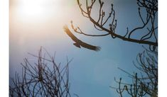 After Last Year's Deadly Fires, the California Condor Soars Once Again | Science | Smithsonian Magazine California Condor, Wild Ones, Science Nature, Fire, Sky, Animals, Outdoor, Magazine, Heaven