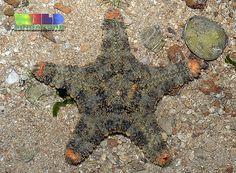 ˚Spiny Sea Star Gymnanthenea laevis
