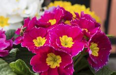 Plant Care Guide: How to Grow and Care for a Primrose Plant Shade Garden Plants, Indoor Plants, House Plants, Primrose Plant, Primula Auricula, Inside Plants, Primroses, Autumn Garden, Flower Images