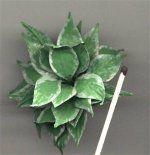 Hosta   mini flowers and plants m/o tape