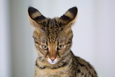 Savannah Cat - In April 1986 Judee Frank, a Bengal breeder, crossbred a male Serval with a Siamese cat. The Serval belonged to Suzi Woods. The result was the first Savannah cat, aptly named Savannah. Rare Cat Breeds, Rare Cats, Exotic Cats, Cats And Kittens, Dog Breeds, Bengal Kittens, Tabby Cats, Gatos Serval, Serval Cats